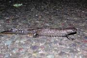 stor-salamander-pa-farefull-ferd-komp