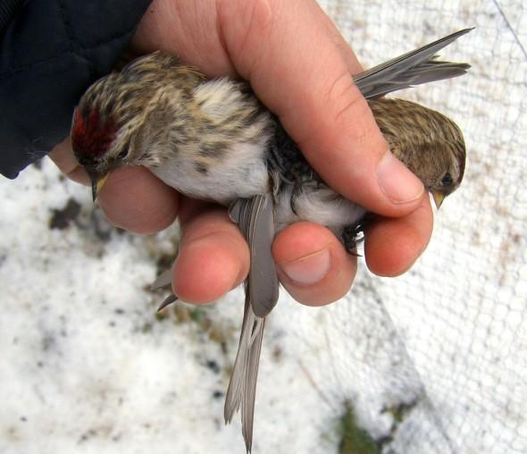 Ringmerking av fugl