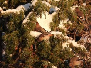 """Bombycilla garrulus er det flotte latinske navnet på sidensvans. Her """"mysser det"""" av sultne fugler, som har fått smaken på einerbærene på Fürst."""